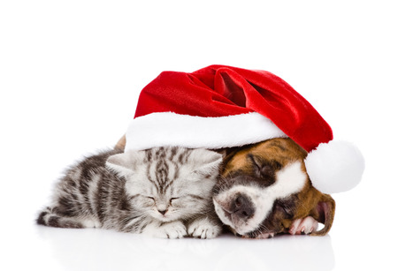 sleeping Scottish kitten and puppy with santa hat  isolated on white  Stock Photo