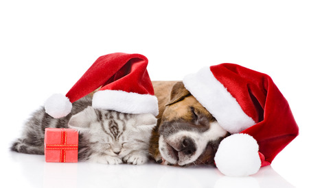 Scottish kitten and puppy with santa hat sleeping together  isolated on white  photo