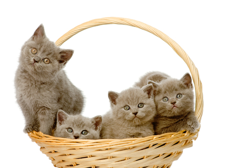 british shorthair: group british shorthair kittens in basket  isolated on white