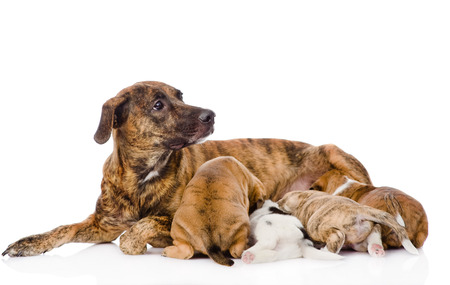 adult breastfeeding: the adult dog feeds the puppies  isolated on white