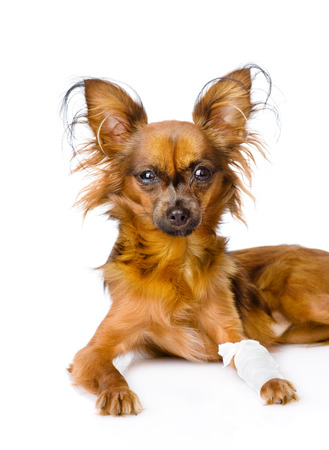 Russian toy terrier with an injured leg  isolated on white background photo