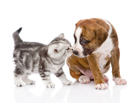 kitten sniffing puppy  isolated on white background