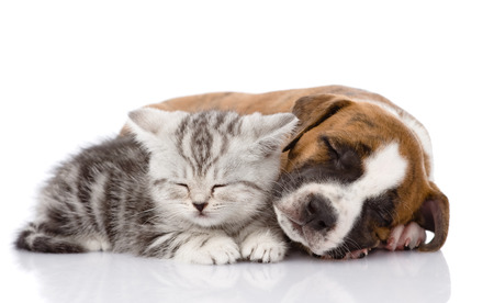 Scottish kitten and puppy sleeping together  isolated on white background