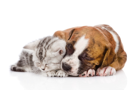 Scottish kitten and puppy sleeping together  photo