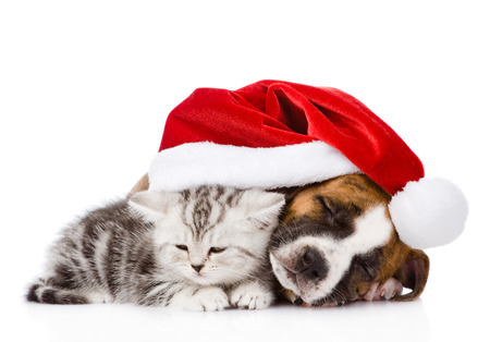 whelp: sleeping Scottish kitten and puppy with santa hat  isolated on white  Stock Photo