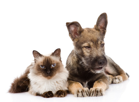 puppy and Siamese cat together  isolated on white  photo