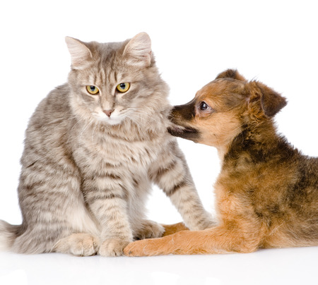 dog bites cat  isolated on white Stock Photo - 25241666