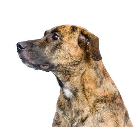 profile mixed breed dog isolated on white