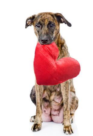 dog with a red heart  isolated on white  photo