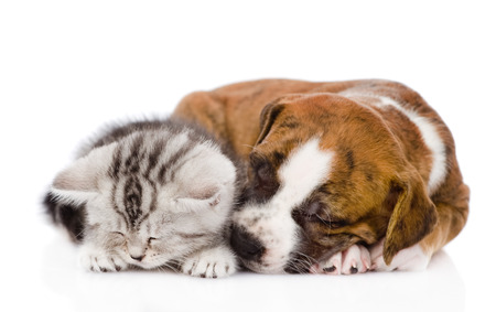 Scottish kitten and puppy sleeping together  isolated on white background photo