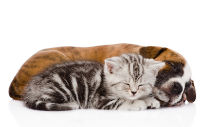 near side: Scottish kitten and puppy sleeping together  isolated on white background