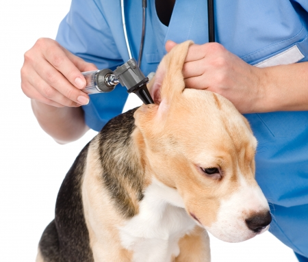 Vet examining a dog s ear with an otoscope  isolated on white background photo