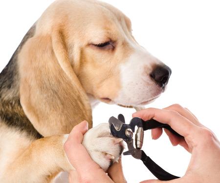 veterinario: corte de uñas de los pies del veterinario de perro aislado en blanco Foto de archivo