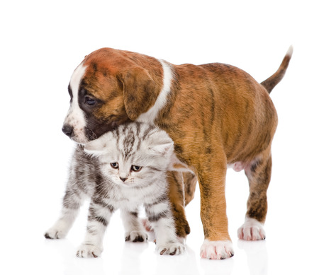 puppy hugs scottish kitten  isolated on white background photo