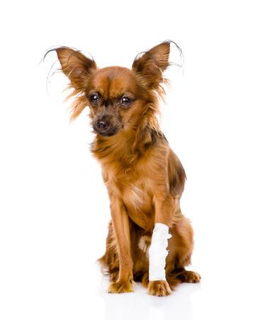 toy terrier: Terrier di giocattolo russo con una ferita alla gamba isolato su bianco