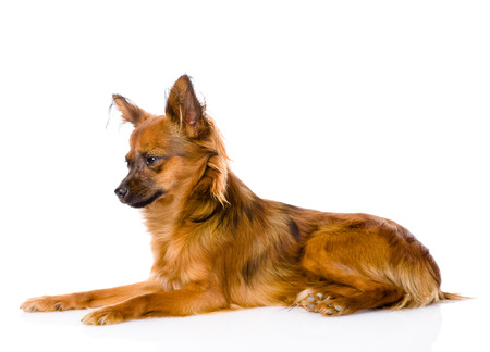 Russian toy terrier lying in profile  isolated on white  photo