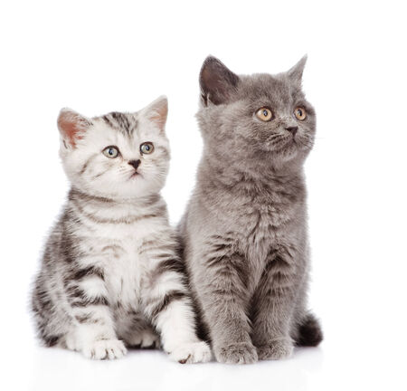 Scottish kitten and british shorthair kitten  isolated on white background photo