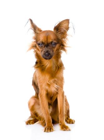 toy terrier: Russian toy terrier seduto di fronte isolato su sfondo bianco