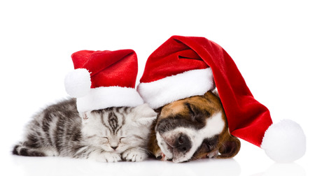 sleeping scottish kitten and puppy with santa hats  isolated on white background photo