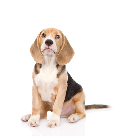 Beagle puppy dog looking up  isolated on white background photo