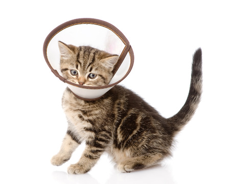 scottish kitten wearing a funnel collar  isolated on white background photo