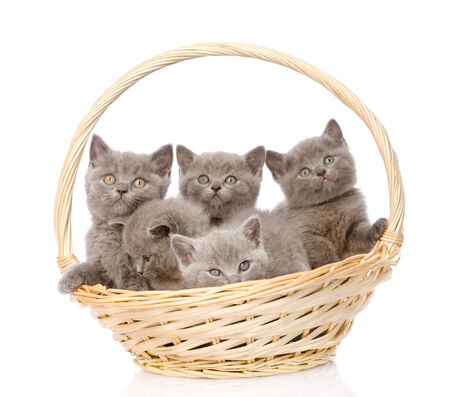 eared: group british shorthair kittens in basket  isolated on white background
