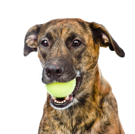 dog holding tennis ball  isolated on white background photo