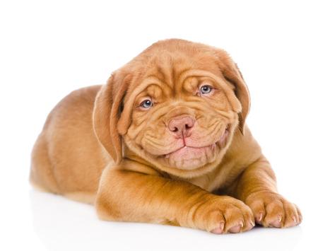usměvavé Bordeaux štěně na bílém pozadí