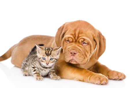 Bordeaux puppy dog and bengal kitten together  isolated on white background photo