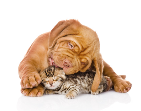 Bordeaux puppy dog licking bengal kitten  isolated on white background photo