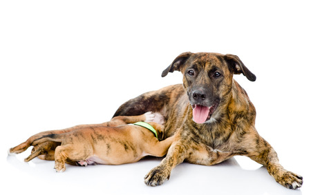 adult breastfeeding: adult dog feeds the puppies  isolated on white background Stock Photo