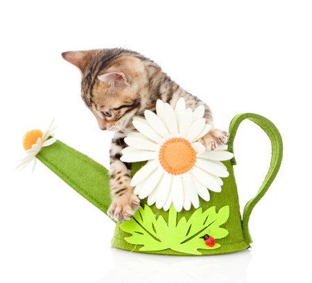 prionailurus: Bengal kitten in a toy watering can  isolated on white background