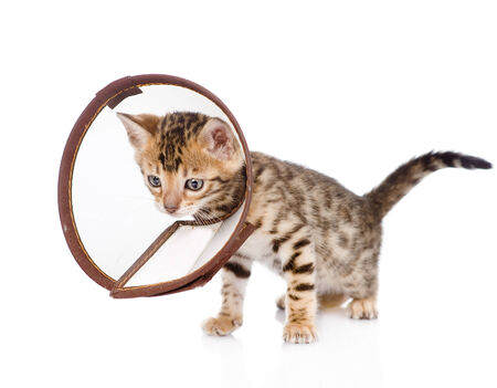 bengal kitten wearing a funnel collar  isolated on white background photo