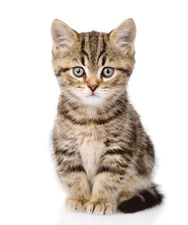Schotse kitten kijken naar camera geïsoleerd op witte achtergrond Stockfoto