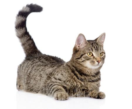 멀리에 격리 된 흰색 배경에 찾고 고양이