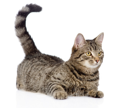 furry tail: cat looking away  isolated on white background Stock Photo