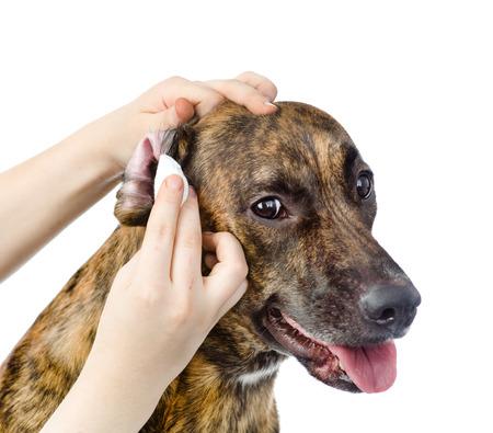 Veterinario limpia las orejas a un perro aislado en fondo blanco Foto de archivo