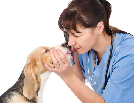 female professional vet doctor examining pet dog eyes  isolated on white background photo