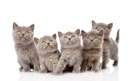 british shorthair: group british shorthair kittens  isolated on white background
