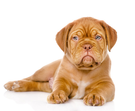 mastiff: Bordeaux puppy dog looking at camera  isolated on white background