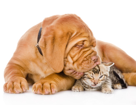 Bordeaux puppy dog kisses bengal kitten  isolated on white background