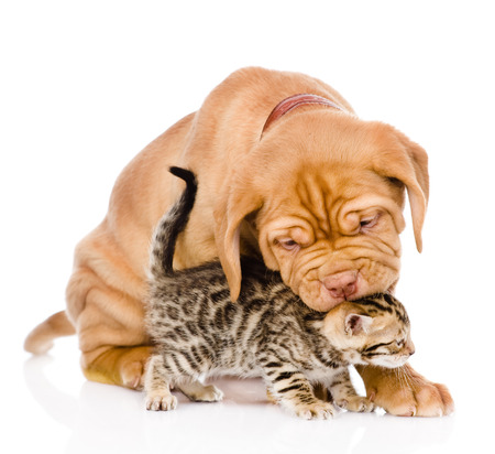 dogs play: Bordeaux puppy dog biting bengal kitten  isolated on white background