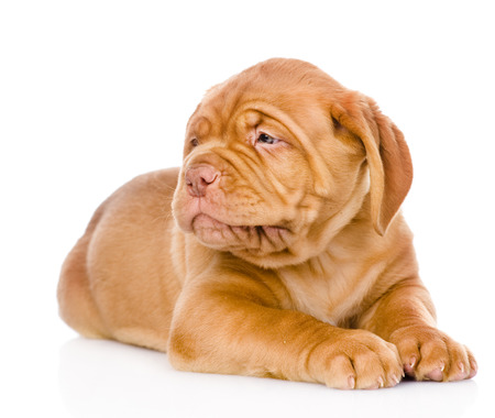 Bordeaux puppy dog looking away  isolated on white background photo