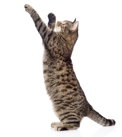 Cute tabby kitten standing on hind legs and leaping isolated on white