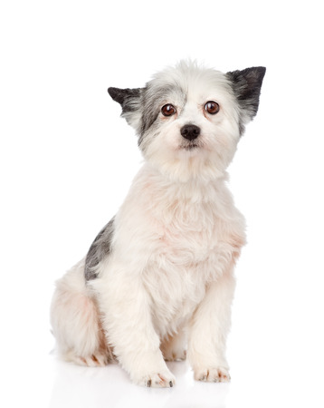 mixed breed dog looking at camera  isolated on white  Stock Photo