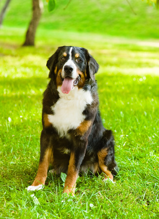 berner: Bernese mountain dog  Berner Sennenhund  sitting in front