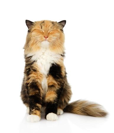 幸せな白い背景で隔離トリコロール猫が前に座って