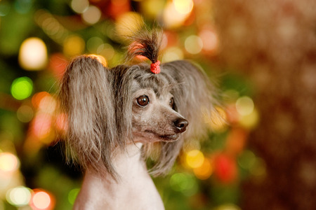 Chinese crested dog puppy in profile photo