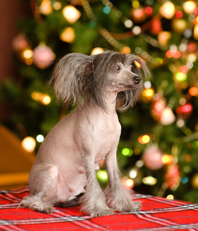 Chinese crested dog puppy looking away photo