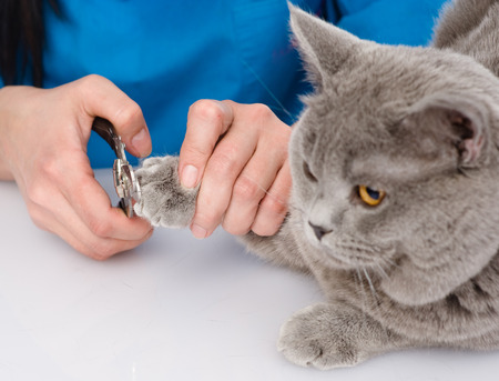 trimming: vet cutting cat toenails  isolated on white background Stock Photo